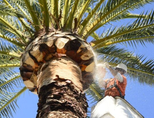 Palm-Tree-Trimming-Norfolk Tree Trimming and Stump Grinding Services-We Offer Tree Trimming Services, Tree Removal, Tree Pruning, Tree Cutting, Residential and Commercial Tree Trimming Services, Storm Damage, Emergency Tree Removal, Land Clearing, Tree Companies, Tree Care Service, Stump Grinding, and we're the Best Tree Trimming Company Near You Guaranteed!